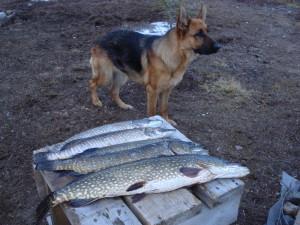 Рыбалка на Кольском. Ловозеро.