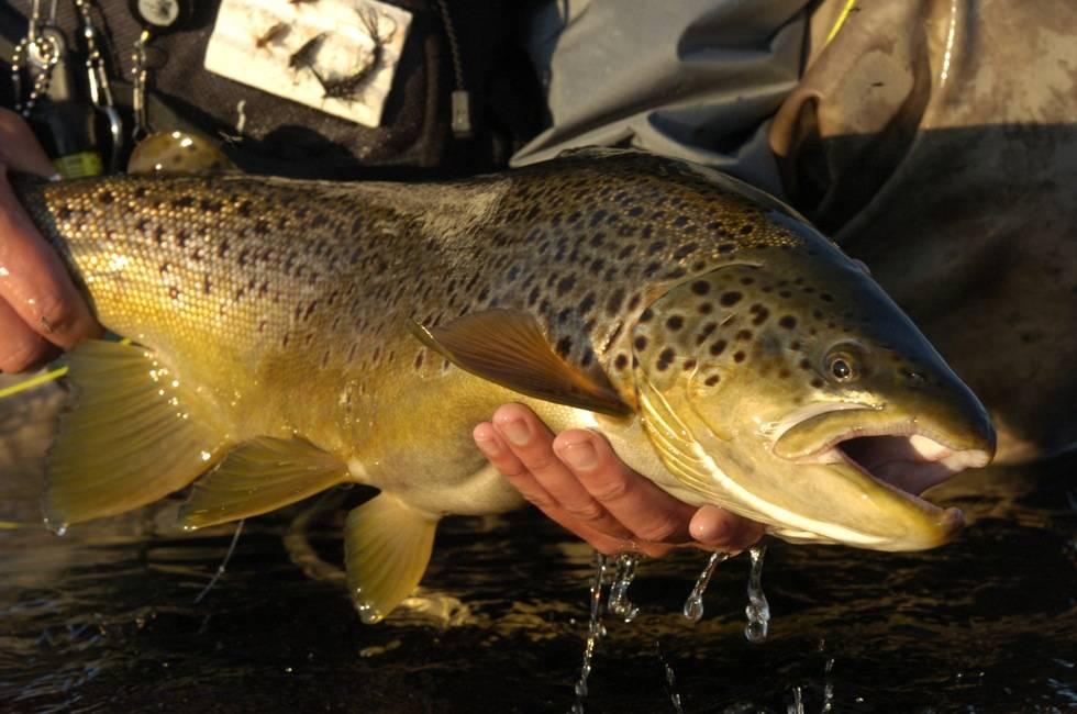 trout13